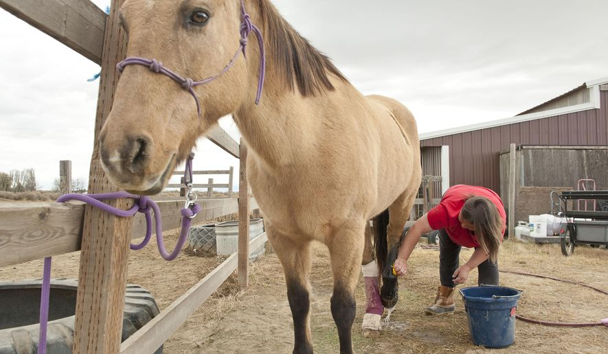 Tracy Longmire gives Spirit some leg wound care at Longmire Ranch in Touchet, Wash., Nov. 2, 2017. A very gentle soul with therapy riders, Sprit is a 23-yr-old favorite of everyone at the ranch, (Greg Lehman/Walla Walla Union-Bulletin via AP)
