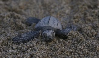 """In this Saturday, Dec. 2, 2017 photo, an olive ridley sea turtle walks to the sea in Sayulita, Nayarit state, Mexico. A local non-profit organization """"Red Tortuguera"""" is helping the turtles survive by relocating recently laid eggs to a protected area of the beach, collecting the hatchlings to keep them safe from bird attacks, and releasing them as a group every Saturday at sun set. (AP Photo/Marco Ugarte)"""