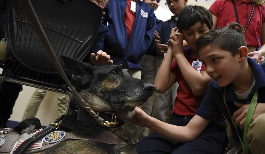 In this Nov. 27, 2017, photo, retired contract working dog Mazzie stares up at his owners as sixth grade student Sebastian Sanders, right, and his classmates take turns petting the dog at Quest Academy Charter School in West Haven, Utah. (Sarah Welliver/Standard-Examiner via AP)