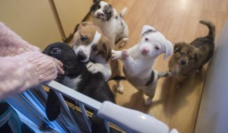 In this Nov. 30, 2017, photo, rescued puppies gather for attention at an animal foster home in Juneau, Alaska. The puppies were rescued by the Southeast Alaska Organization for Animals. (Michael Penn/The Juneau Empire via AP)