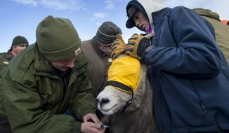 In this Monday, Dec. 4, 2017 photo, Kylie Sinclair, wildlife disease lab. technician based out of Laramie, draws blood from a ewe as Powell High School student Matt Jones holds the bighorn sheep steady while the Wyoming Game and Fish Department work to capture bighorn sheep from the Devil's Canyon herd at the Bighorn Canyon National Recreation Area, near Lovell, Wyo., to be moved to a struggling herd in the Ferris Mountains. (Mark Davis/The Powell Tribune via AP)