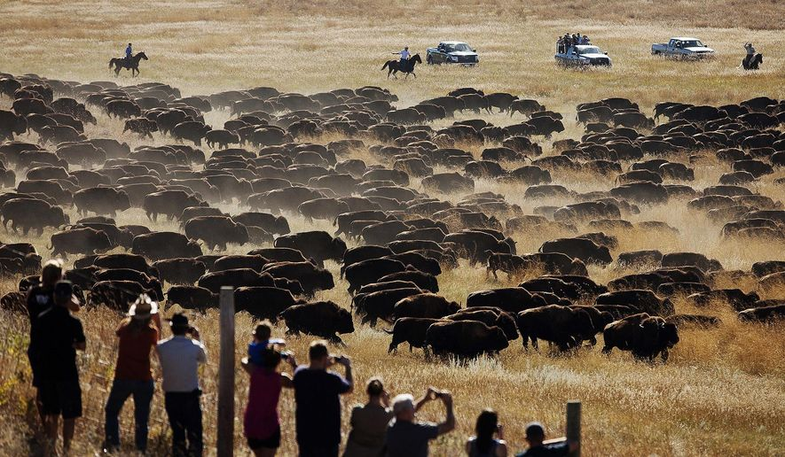FILE - In this Sept. 26, 2014 file photo, spectators watch as riders and drivers herd about 1,200 bison toward the corrals at the 49th annual Custer State Park Buffalo Roundup in the southern Black Hills near Custer, S.D. Custer State Park, known for drawing thousands of spectators to its fall buffalo roundup each year, is set to perform another, unexpected roundup in the coming days to inspect its bison after a historic wildfire burned through the South Dakota park this week. (AP Photo/Kristina Barker, File)