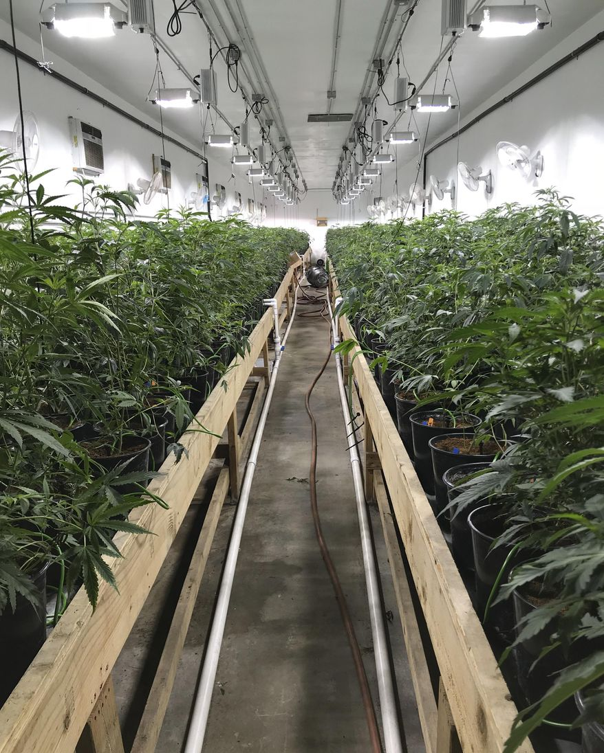 Some growers like their facilities brighter than an operating room, says one leader of an effort to incentivize weed producers to cut their power use. (Associated Press/File)
