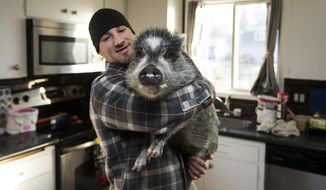 In this Thursday, Dec. 7, 2017 photo, Brett Banks picks up Norman, one of three pigs he owns, at home in Everett, Wa. Banks says Norman, who is not a boar as one person reported, is the friendliest and will walk up to people with a wag in his tail. (Andy Bronson/The Herald via AP)