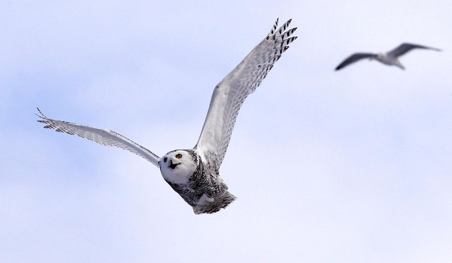In this Dec. 14, 2017, photo, a snowy owl flies past a seagull after being released along the shore of Duxbury Beach in Duxbury, Mass. The owl is one of 14 trapped so far this winter at Boston's Logan Airport and moved to the beach on Cape Cod Bay. The large white raptors from the Arctic have descended on the northern U.S. in huge numbers in recent weeks, giving researchers opportunities to study them. (AP Photo/Charles Krupa)