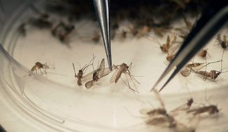 In this Feb. 11, 2016, file photo, Dallas County Mosquito Lab microbiologist Spencer Lockwood sorts mosquitoes collected in a trap in Hutchins, Texas, that had been set up in Dallas County near the location of a confirmed Zika virus infection. (AP Photo/LM Otero, file)
