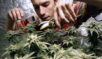 In this Dec. 13, 2017, file photo, James MacWilliams prunes a marijuana plant that he is growing indoors in Portland, Maine. Vermont lawmakers are expected to renew the debate in the new year about whether recreational marijuana should be legalized in the state, as it is in Maine. (AP Photo/Robert F. Bukaty, File)