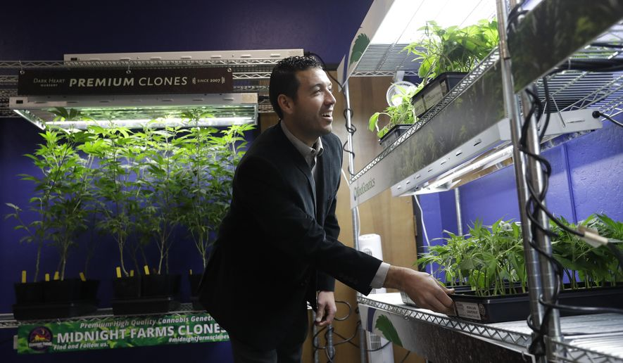 In this Dec. 29, 2017, photo, Khalil Moutawakkil, co-founder and CEO of KindPeoples, a marijuana dispensary, looks at different marijuana plants on display in his store in Santa Cruz, Calif. Californians may awake on New Year's Day to a stronger-than-normal whiff of marijuana as America's cannabis king lights up to celebrate the state's first legal retail pot sales. (AP Photo/Marcio Jose Sanchez)