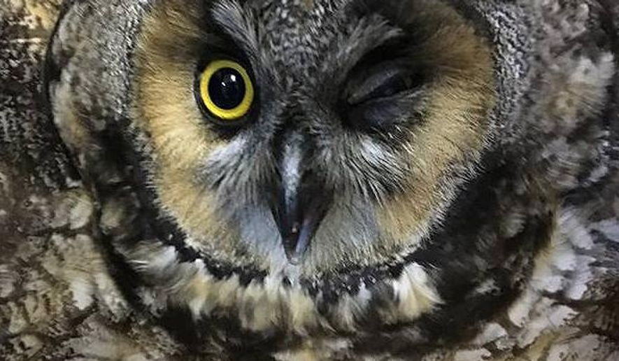 In this Friday, Dec. 29, 2017, photo, an injured female Long-eared Owl, who likely suffered a concussion after striking a window and was rescued from the 14th story of a midtown Manhattan building, is shown during intake before being treated at the Wild Bird Fund, a New York city-based wildlife rehabilitation center. The owl was treated with anti-inflammatory medication and antibiotic eye drops by the rehabilitation center and recovered over the weekend. She was released under a supermoon in New York's Central Park on New Years' Day. (Phyllis Tseng/Wild Bird Fund via AP)