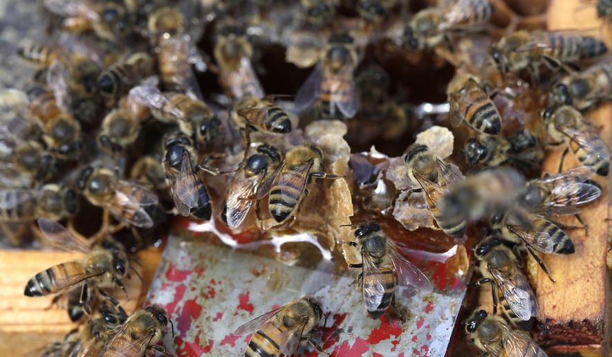 In this Friday, Dec. 15, 2017 photo, bees make honey at Geraldson Community Farm in Bradenton, Fla. Danielle La Casse, who started Brick Street Honey and sells her products at local independent markets in St. Petersburg, brought new queens to introduce to her queenless hives at the community farm.  (Lara Cerri/The Tampa Bay Times via AP)