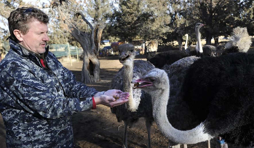 Michael Lehman feeds some of the ostriches he uses for breeding stock on his farm in Redmond, Ore., Thursday, Dec 21, 2017. Central Oregon Ostrich is one of only two farms in the Pacific Northwest that raises the animals for their meat. (Ryan Brennecke/The Bulletin via AP)