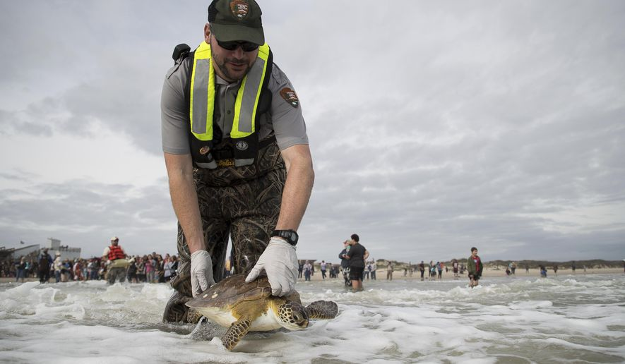 Padre Island National Seashore's Tom Backof releases a rehabilitated sea turtle into the Gulf of Mexico during a turtle release at Padre Island National Seashore in Corpus Christi, Texas, Sunday, Jan. 7, 2018. (Courtney Sacco/Corpus Christi Caller-Times via AP)