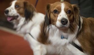 Nederlandse kooikerhondje, Escher, right, and Rhett are shown during a news conference at the American Kennel Club headquarters, Wednesday, Jan. 10, 2018, in New York.  The club announced that it's recognizing the Nederlandse kooikerhondje and the grand basset griffon Vendeen. They're the first breeds added to the roster since 2016. (AP Photo/Mary Altaffer)