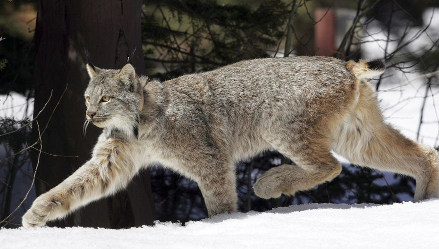 FILE - In this April 19, 2005 file photo, a Canada lynx heads into the Rio Grande National Forest after being released near Creede, Colo. Wildlife officials said Thursday, Jan. 11, 2018, the Canada lynx no longer needs special protections in the United States. The U.S. Fish and Wildlife Service will begin drafting a rule to revoke the animal's threatened species status, which has been in place since 2000. (AP Photo/David Zalubowski, File)