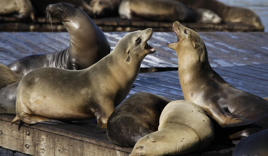 FILE - In this Oct. 15, 2010, file photo, sea lions bark at each other at Pier 39 in San Francisco. A sea lion bit a woman swimming in the San Francisco Bay in the fourth such attack since December 2017. A friend says the two members of the South End Rowing Club were swimming around 7 a.m. Thursday, Jan. 11, 2018 when the sea lion latched onto her and tried to drag her underwater. (AP Photo/Eric Risberg, File)