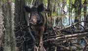 In this April 13, 2017, file photo, a wild boar walks in a swamp, in Slidell, La. (AP Photo/Rebecca Santana, File) **FILE**
