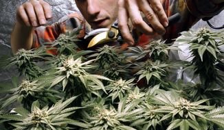 In this Dec. 13, 2017, file photo, James MacWilliams prunes a marijuana plant that he is growing indoors in Portland, Maine. (AP Photo/Robert F. Bukaty, File)