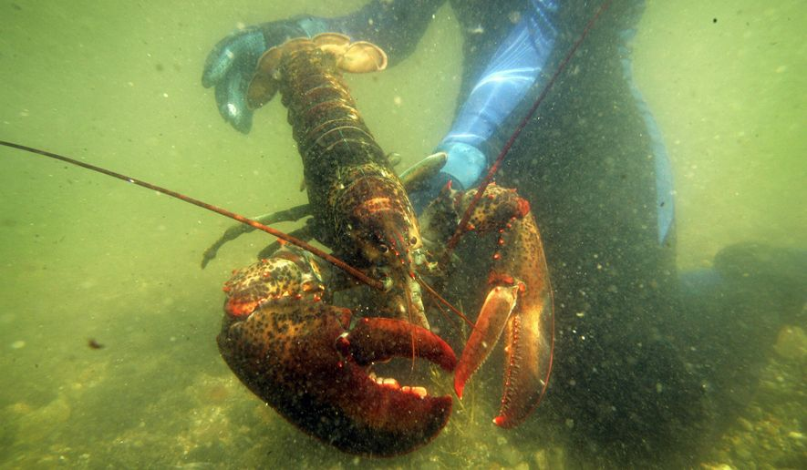 FILE - In this July 2007, file photo, a scientist holds a lobster underwater on Friendship Long Island, Maine. A study published on Monday, Jan. 22, 2018, said conservation practices have allowed the northern New England lobster industry, backbone of Maine's economy, to thrive in the face of rising ocean temperatures while the southern New England lobster catch has plummeted. Ocean temperatures have risen in both areas, to levels that scientists said is favorable for lobsters off northern New England and Canada but inhospitable for them in southern New England. (AP Photo/Robert F. Bukaty, File)