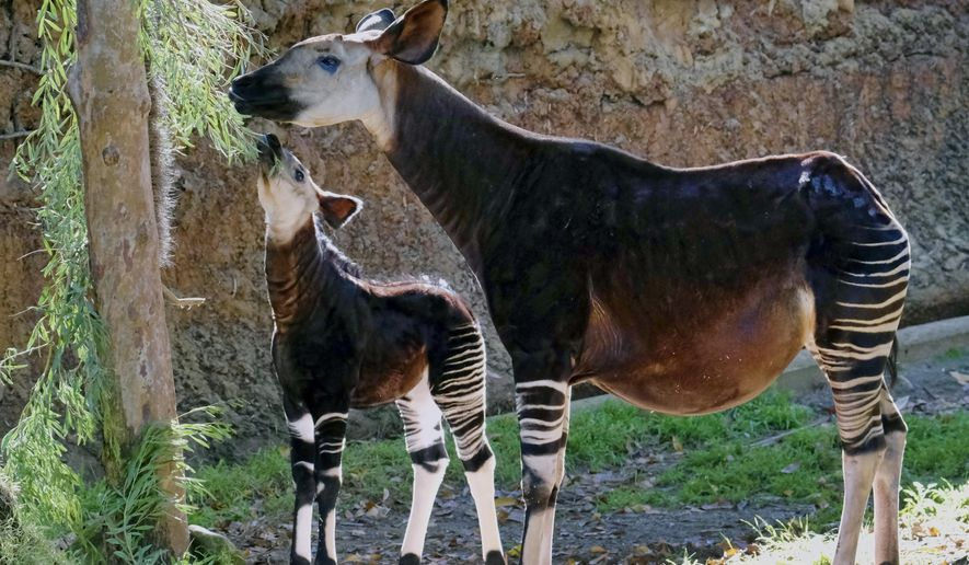 """A new born female Okapi calf and her mother take a morning snack at their enclosure at the Los Angeles Zoo on Tuesday, Jan. 23, 2018. The zoo has put on display the baby okapi, a reclusive species that in the wild is found deep in the now-vanishing dense rainforests of central Africa. The calf born was born Nov. 10, 2017. Nicknamed the """"rainforest giraffe,"""" okapis are the closest living relative of giraffes but do not grow that tall. They have black-and-white striped patterns on their front and hind legs and their coats are velvety and oily. (AP Photo/Richard Vogel)"""
