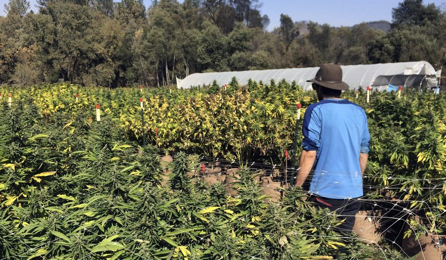 FILE - In this Oct. 15, 2017, file photo, Marcos Morales, co-founder of pot company Legion of Bloom, walks through his farm of ready-to-harvest marijuana plants in Glen Ellen, Calif. An alliance of California marijuana growers is trying to block state rules that they fear could open the way for vast farms that would strangle smaller cultivators. A lawsuit filed Tuesday, Jan. 23, 2018 in Sacramento by the California Growers Association argues that regulations would improperly allow businesses to acquire an unlimited number of certain growing licenses, which would drive out smaller farmers. (AP Photo/Paul Elias, File)