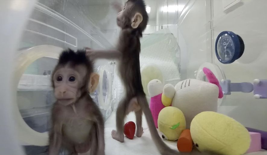 This image from video provided by the Chinese Academy of Sciences in January 2018 shows cloned monkeys Zhong Zhong and Hua Hua in Shanghai, China. Researchers said the genetically identical long-tailed macaques are the first primate clones made by by the method that produced Dolly the sheep. (Qiang Sun and Mu-ming Poo/Chinese Academy of Sciences via AP)