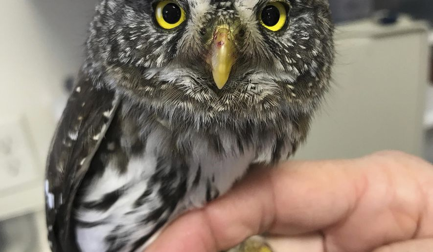 This undated photo supplied by the Teton Raptor Center shows a Northern pygmy owl. This Northern pygmy owl, that flew into a window a couple of weeks ago in northwest Wyoming, has been nursed back to health and released back into the wild. (Meaghan Warren/Teton Raptor Center via AP)