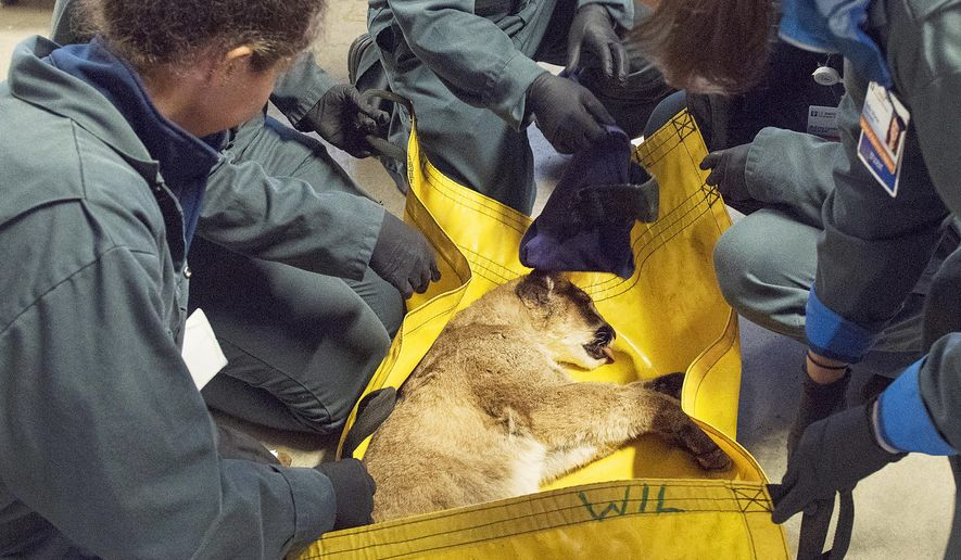 This Jan. 8, 2018 photo released by UC Davis shows staff from the California Department of Fish and Wildlife and the University of California, Davis Veterinary Teaching Hospital tending to an injured 5-month-old mountain lion cub at the CDFW facility in Rancho Cordova, Calif. State officials say the cub, who was rescued from the California wildfires, will go into lifelong confinement at a wildlife-rescue center next week. (Karin Higgins/UC Davis via AP)
