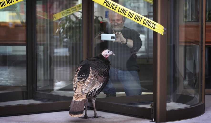 In this Jan 23, 2018 photo, a turkey walks near the Federal Building in Eugene, Ore., as employees leave for the day. The turkey and another have been seen in downtown Eugene, spurring onlookers to do double takes or to stop to snap photos. (Chris Pietsch /The Register-Guard via AP)