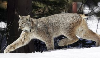 FILE - in this April 19, 2005, file photo, a Canada lynx heads into the Rio Grande National Forest after being released near Creede, Colo. A federal court has reversed itself and says Idaho doesn't need to change trapping regulations where federally protected Canada lynx are likely to be caught in traps set for bobcats. U.S. District Court Judge B. Lynn Winmill in a ruling on Wednesday, Jan. 24, 2018, says new evidence put forward by the U.S. Fish and Wildlife Service makes clear the agency allows the incidental capture of lynx that are released unharmed. (AP Photo/David Zalubowski, File)