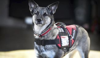 """ADVANCE FOR USE SATURDAY, JAN. 27, AND THEREAFTER - In this Friday, Jan. 12, 2018 photo, a rescue Labrador retriever/German shepherd mix named Sadie, adopted by entrepreneur Fred Nell, wears a vest labeled """"Narcotics Dog"""" outside Nell's home in Annville, Pa. Nell established two small businesses, Drug Search Team and Next Day Outreach, and his drug-sniffing dog Sadie performs more than two dozen drug searches each month. (Michael K. Dakota /Lebanon Daily News via AP)"""