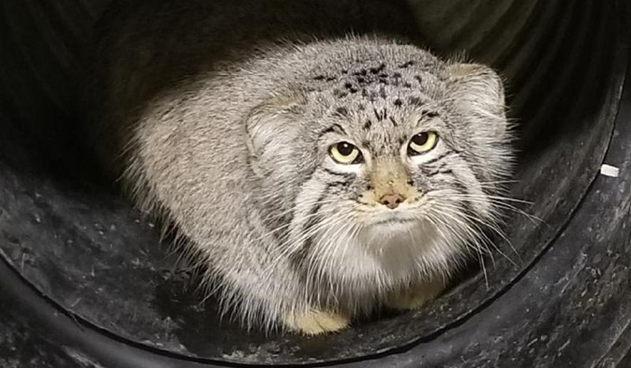 This undated photo, provided by the Hogle Zoo in Salt Lake City shows Mushu, a 10 month-old Pallas' Cat. The small mountain cat is on the loose at the Salt Lake City zoo on Monday, Jan. 29, 2018, marking the second animal escape there in less than two years. The cat isn't dangerous and is believed to still be inside zoo grounds. (Hogle Zoo via AP)