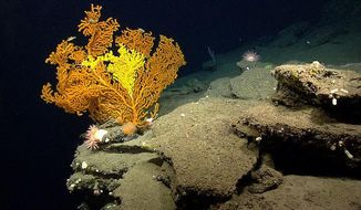 This 2013 photo provided by the National Oceanic and Atmospheric Administration shows a coral located 165 nautical miles southeast of Cape Cod, Mass. The federal government is considering new protections for deep sea corals located off of southern New England. The New England Fishery Management Council is expected to vote on the proposal on Tuesday, Jan. 30, 2018. The photo was taken during a National Oceanic and Atmospheric Administration exploration of Northeast U.S. canyons in 2013. (National Oceanic and Atmospheric Administration via AP)