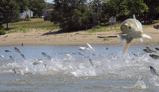 FILE - In this June 13, 2012 file photo, Asian carp jolted by an electric current from a research boat jump from the Illinois River near Havana, Ill. Michigan Gov. Rick Snyder said Wednesday, Jan. 31, 2018, an interstate partnership is being established to help strengthen defenses against invasive Asian carp in a Chicago-area waterway. He says Michigan, Ohio, Wisconsin and the Canadian province of Ontario are taking part, while other Great Lakes states are invited to join. (AP Photo/John Flesher, File)
