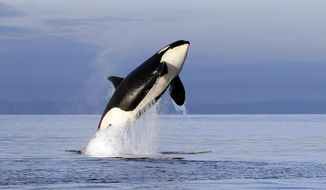 FILE--In this Jan. 18, 2014, file photo, an endangered female orca leaps from the water while breaching in Puget Sound west of Seattle, Wash. With just 76 whales left, the fragile population of endangered Puget Sound orcas is at a 30-year low. Washington state lawmakers are pitching a number of measures to save them from extinction. (AP Photo/Elaine Thompson, file)