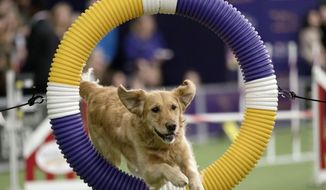 Tommee, a golden retriever, competes in the Masters Agility Championship during the Westminster Kennel Club Dog Show, Saturday, Feb. 10, 2018, in New York. (AP Photo/Mary Altaffer)