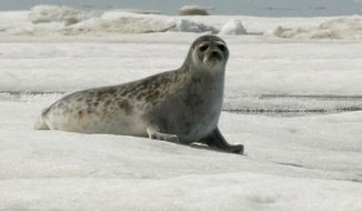 This June 5, 2009 photo released by National Oceanic and Atmospheric Administration shows an adult ringed seal in Kotzebue, Alaska. An ice seal that's the main prey of Alaska's polar bears will receive threatened species protection. The 9th U.S. Circuit Court of Appeals on Monday, Feb. 12, 2018, overturned a District Court decision and said the National Marine Fisheries Service acted properly in listing ringed seals. (Mike Cameron/NOAA via AP)