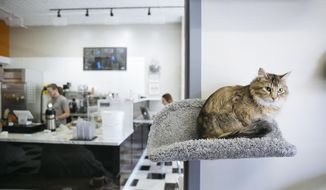 Thea perches on a cat perch inside the cat lounge side of The Cafe Meow in Minneapolis on Tuesday, Feb. 13, 2018. The state's first cat cafe opens in Minneapolis this Friday. (Evan Frost/Minnesota Public Radio via AP)
