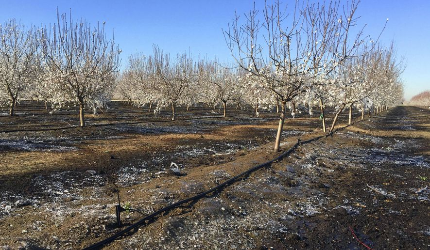 This photo provided by farmer Ryan Jacobsen shows a field and branches on his almond trees covered in ice, a result of micro sprinklers that are turned on to release heat from the water to raise the field temperature 1-3 degrees, in his orchard near Fresno in California's Central Valley Tuesday, Feb. 20, 2018. An air mass from western Canada has brought some of the coldest temperatures of the winter to California. Hard freeze warnings were in effect up and down the agricultural Central Valley early Tuesday and were set to go back into effect overnight into Wednesday. Numerous locations had lows in the 20s and 30s, while some mountain locations had single-digit temperatures before dawn. (Ryan Jacobsen via AP)