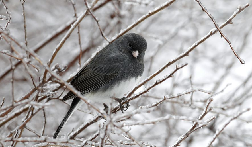 A Slate-Colored Junco perches among icy branches in Lawrence, Kan., Tuesday, Feb. 20, 2018. The area is under a winter weather advisory. (AP Photo/Orlin Wagner)