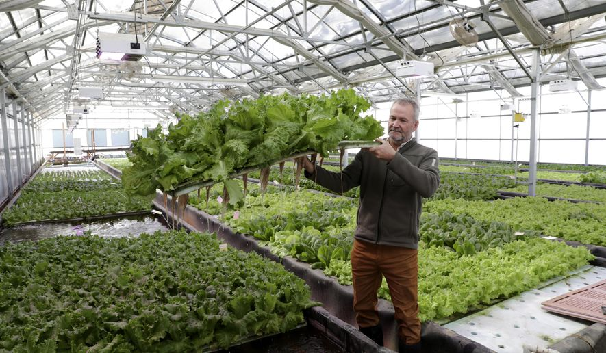 In a Thursday, Feb. 8, 2018 photo, Mike Knight, co-founder of Clean Fresh Food near Paoli shows off some of the nearly full-grown lettuce grown in his greenhouse that is part of an aquaponics system located on a former dairy farm Farming can many forms but for Mike Knight, it includes tilapia and growing fresh vegetables year round all without dirt. Knight's aquaponics farm provides fresh vegetables to local grocery stores and restaurants year round.  (Steve Apps/Wisconsin State Journal via AP)