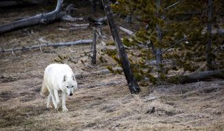 FILE - In this April 6, 2016, file photo provided by the Yellowstone National Park Service, a white wolf walks in Yellowstone National Park, in Wyo. A proposal to collect a fee at Yellowstone National Park to fund wildlife conservation efforts in the states surrounding the park is advancing through the Wyoming Legislature. (Neal Herbert/Yellowstone National Park via AP, file)