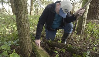 In this Thursday, Feb. 8, 2018 photo, Ron Tucker examines the name on a tombstone at Gingles Cemetery in Adai Village, Ore. Rick Pyburn, who lives near the cemetery north of Adair Village, Ore., purchased the cemetery from the Greater Albany School District. Tucker, of Adair, does genealogy for a hobby, which led him to learn the proper method of cleaning gravestones. He's volunteered to do that for some 40 years. (Mark Ylen/Albany Democrat-Herald via AP)