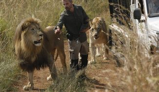 """FILE - In this Wednesday March 15, 2017 file photo, Kevin Richardson, known as the """"lion whisperer"""", takes two of his lions for a walk in the Dinokeng Game Reserve, near Pretoria, South Africa. A lion, who mauled a young woman to death, was under the care of Richardson, known for his close interactions with the predators in his animal sanctuary. (AP Photo/Denis Farrell, File)"""