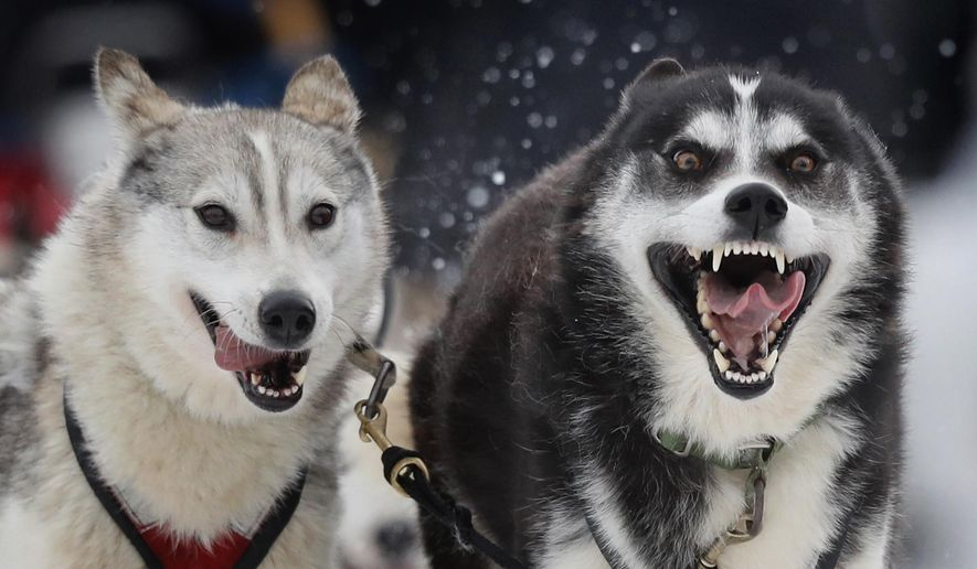 Siberian huskies charge from the starting line, leading a team run by Ingrid Bower, of Underhill, Vt., in the Irving Woodlands Can Am Crown 100-mile sled dog race, Saturday, March 3, 2018, in Fort Kent, Maine. More than 50 teams started the 30, 100 and 250-mile races in northern Maine. (AP Photo/Robert F. Bukaty)