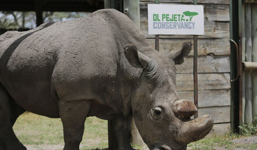"""In this photo taken Wednesday, May 3, 2017, Sudan, the world's last male northern white rhino, is photographed at the Ol Pejeta Conservancy in Laikipia county in Kenya. The health of 45-year-old Sudan is reported to be deteriorating and his minders said Thursday, March 1, 2018, that his """"future is not looking bright."""" (AP Photo)"""