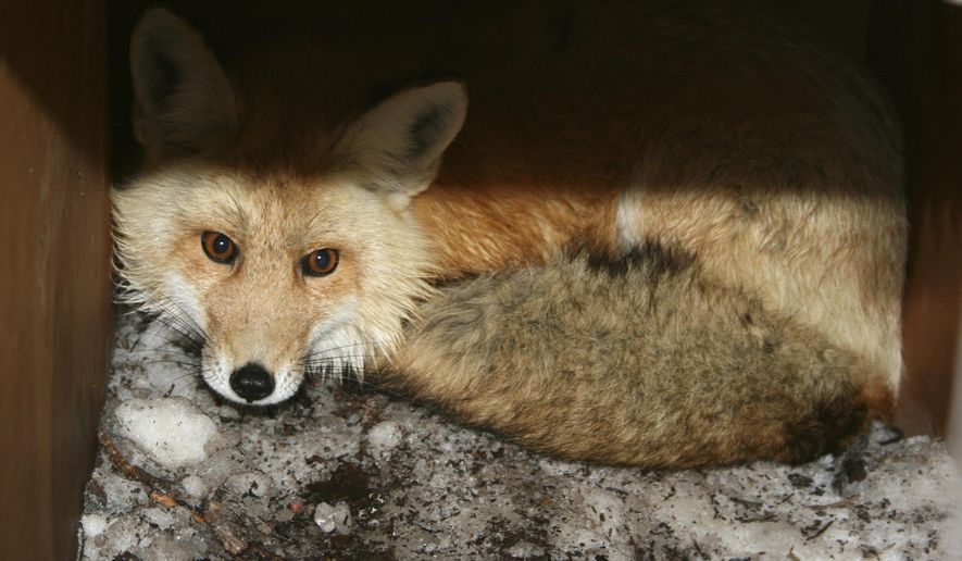In this undated photo provided by the California Department of Fish and Wildlife, a captured male red fox is seen. (California Department of Fish and Wildlife via AP) **FILE**