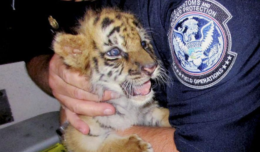 FILE - This Wednesday, Aug. 23, 2017, file photo provided by U.S. Customs and Border Protection shows an agent holding a male tiger cub that was confiscated at the U.S. border crossing at Otay Mesa southeast of downtown San Diego. The cub, now much larger than in this photo, that lives at the San Diego Zoo Safari Park in Escondido, Calif., has undergone emergency surgery to fix internal problems he probably had before being rescued. The park says the male cub, named Moka, had the operation on Tuesday, March 6, 2018, and appears to be recovering, but he'll remain under observation. (U.S. Customs and Border Protection via AP, File)