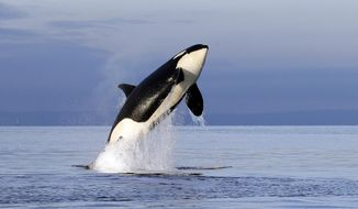 FILE--In this Jan. 18, 2014, file photo, an endangered female orca leaps from the water while breaching in Puget Sound west of Seattle, Wash. Washington Gov. Jay Inslee is set to establish an executive order Wednesday, March 14, 2018, calling for state actions to protect the unique population of endangered orcas that spend time in Puget Sound. The fish-eating whales have struggled due to lack of food, pollution and noise and disturbances from vessels. (AP Photo/Elaine Thompson, File)