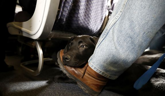 FILE- In this April 1, 2017, file photo, a service dog named Orlando rests on the foot of its trainer, John Reddan, of Warwick, N.Y., while sitting inside a United Airlines plane at Newark Liberty International Airport during a training exercise in Newark, N.J. Trainers took dogs through security check and onto a plane as part of the exercise put on by the Seeing Eye puppy program. If your pet must travel, experts say that the cabin is safer than the cargo hold. Pets too large to fit in an under-seat carrier must go cargo unless it's a service or emotional-support animal. (AP Photo/Julio Cortez, File)