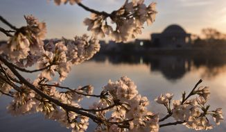 Lit pink at sunrise, cherry blossoms are in full bloom by the tidal basin in Washington, Thursday, March 24, 2016, looking toward the Jefferson Memorial . (AP Photo/Jacquelyn Martin)